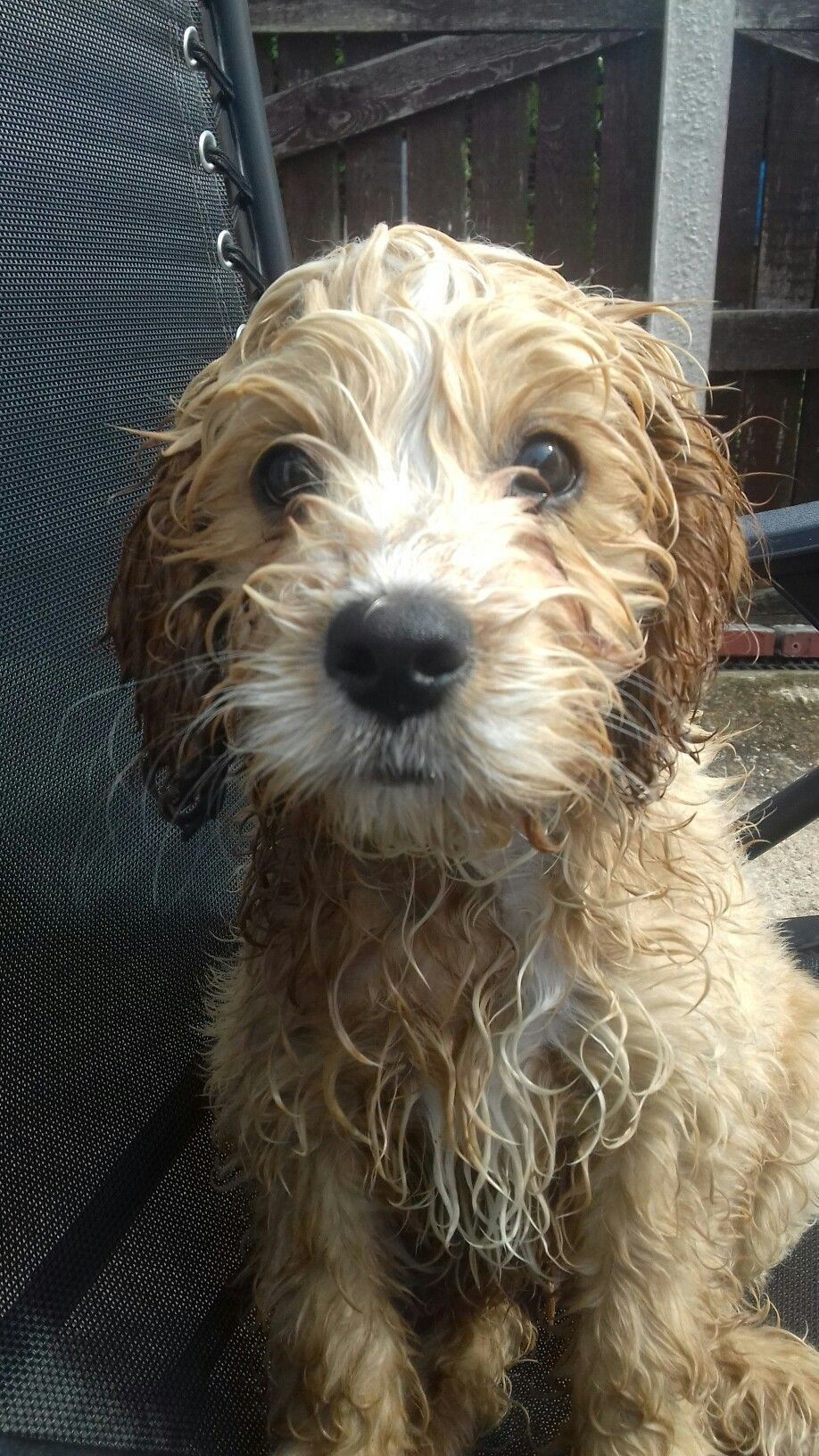 My Arthur. 12 week old Cockapoo. Wet from playing in his paddling pool. He loves water!