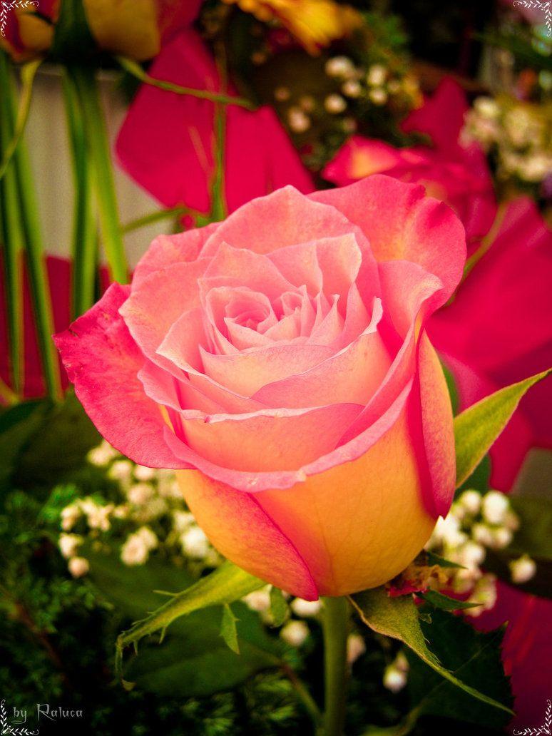 rose like a rose... by erylum