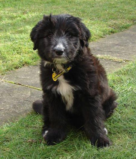 Lizzie The Bearded Collie Cross Collie Dog Breeds Bearded Collie