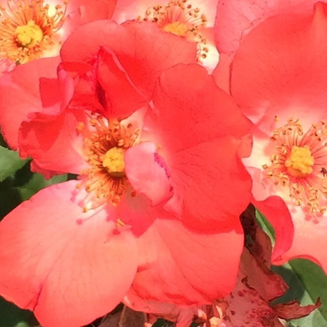 #wow #fiori #fiore #fioricolorati #flower #flowers #flowers_earth #flowerpower #flowerphotography #flower_shotz #flower_igers #flower_special_vip #flower_special_ #flowers_super_pics #flower_special_legend #9vaga_flowerscolor9 #9vaga_3flowers9 #9vaga_fl_pink9 #9vaga_fl_red9 #splendid_flowers #blossom #blooming_petals #petals #petals_perfection #💐💐💐💐