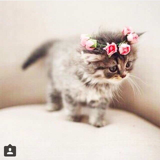 Poil chat de cute on instagram that 39 s hot pinterest chaton chat et animaux mignons - Image de petit chat ...