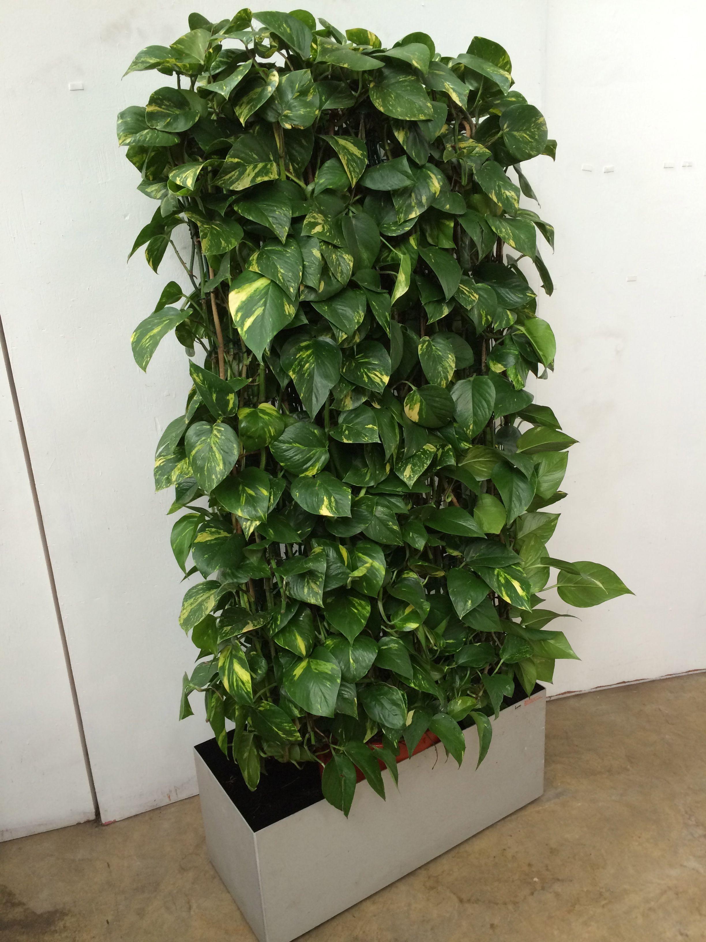Виды вьющихся комнатных растений фото