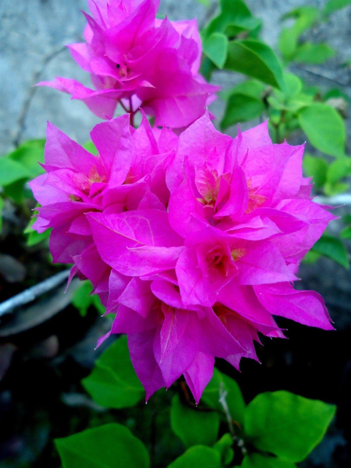 Beautiful Flower Bougainvillea Art In 2018 Pinterest Beautiful