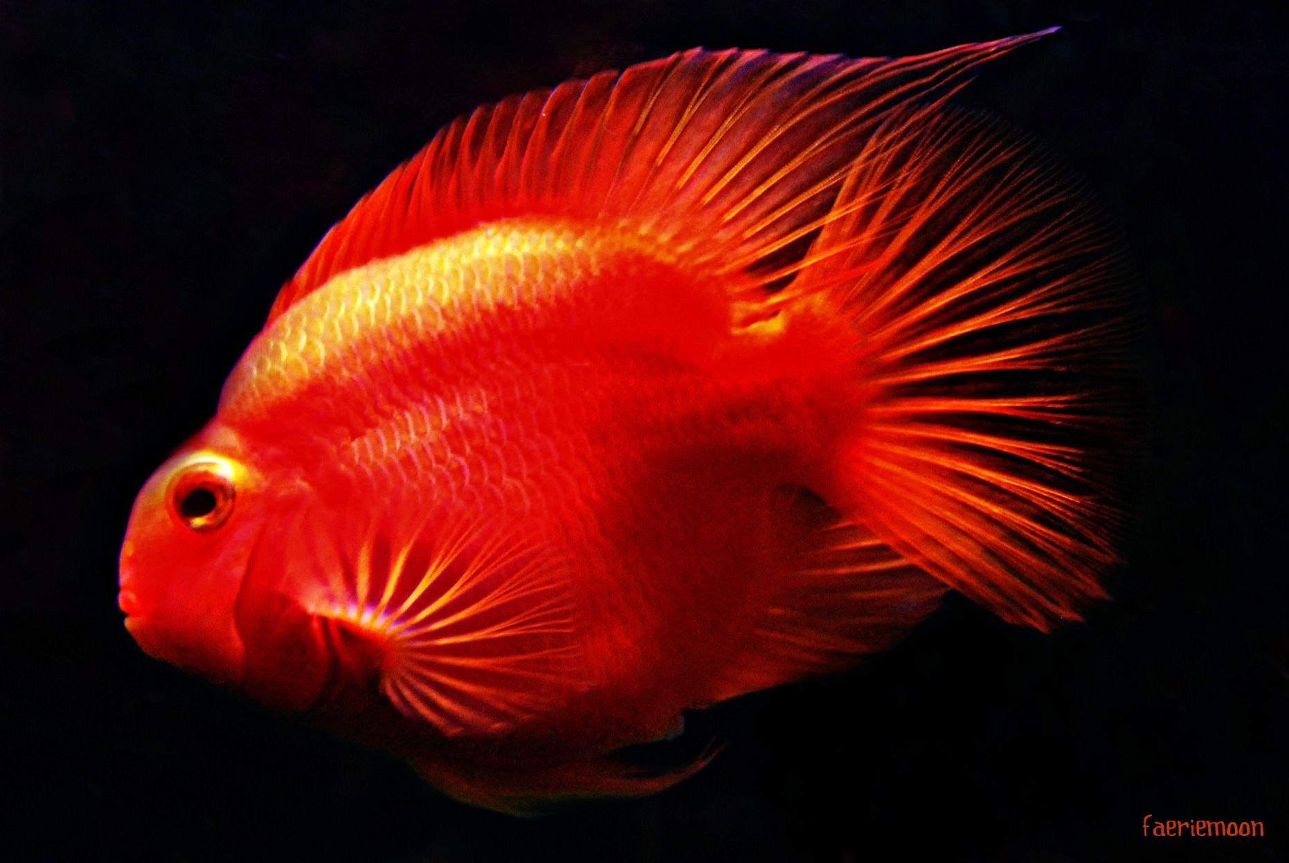 Aquariums and Fish *Blood Parrot Cichlid *Photo by Clarissa Johal ...