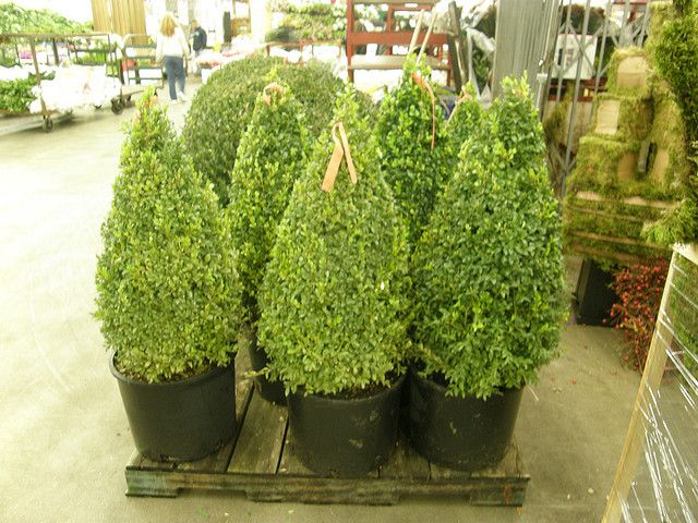 Boxwood Cones Front Doors Yards And Plants