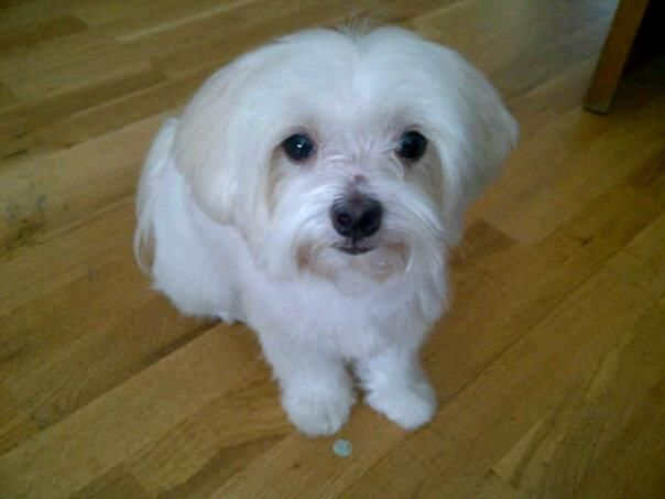Lola Maltipoo Maltese Poodle Lola Maltese Poodle Maltipoo