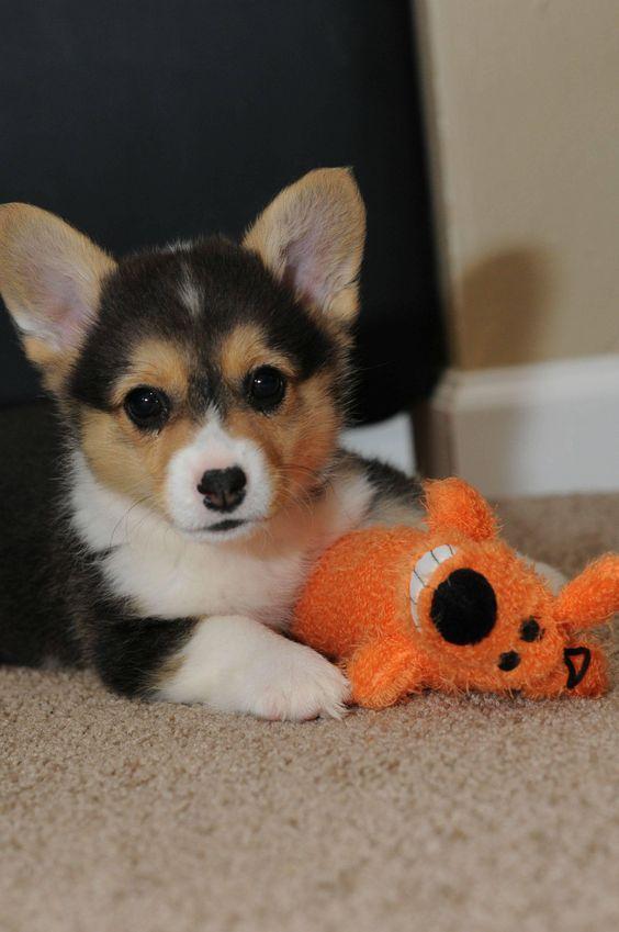 Corgi Pup Cute Animals Puppies Pets