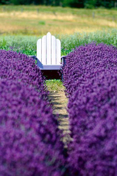 Rows of Lavender - flowers - garden