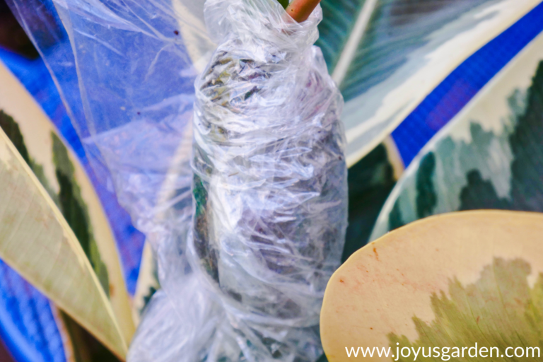 How To Propagate A Rubber Plant By Air Layering | Joy Us Garden | Rubber tree plant, Rubber ...
