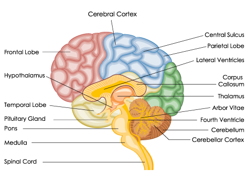 Detailed Diagram of the Human Brain | Human brain anatomy ...