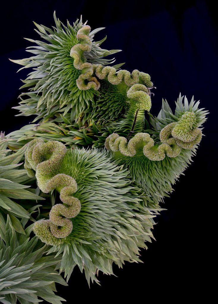 Mutant Chlorophillum Animal eating plants, Organic