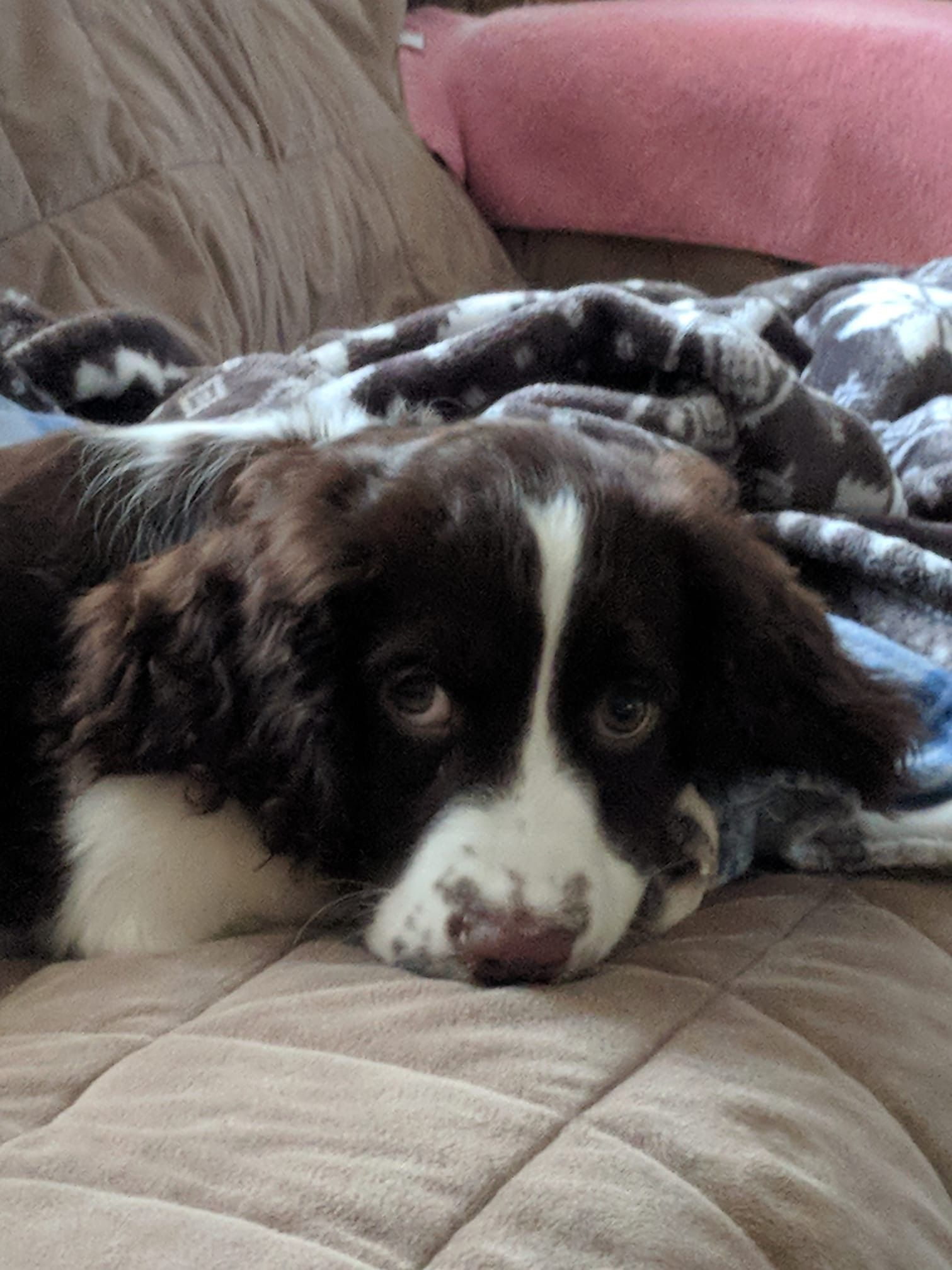 Pin By Gilcy Rezende On Cute Amazing English Springer Spaniel