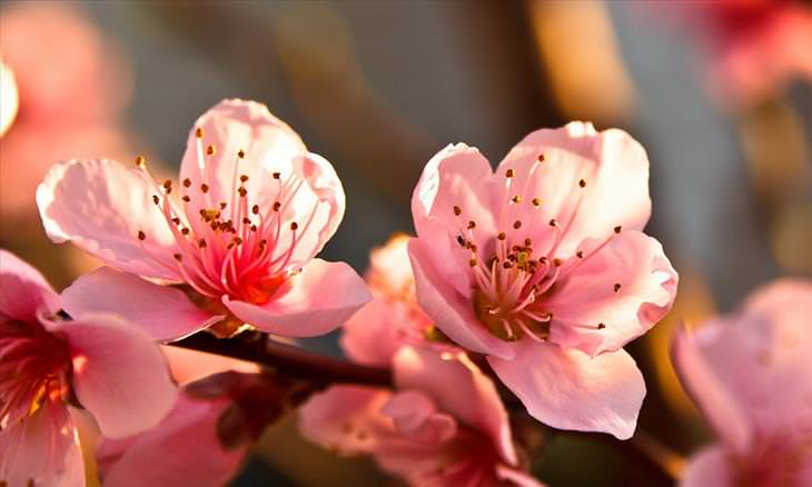 15 Beautiful Fruit Tree Flowers And Blossoms Nature Flowers Peach Trees Fruit Flowers