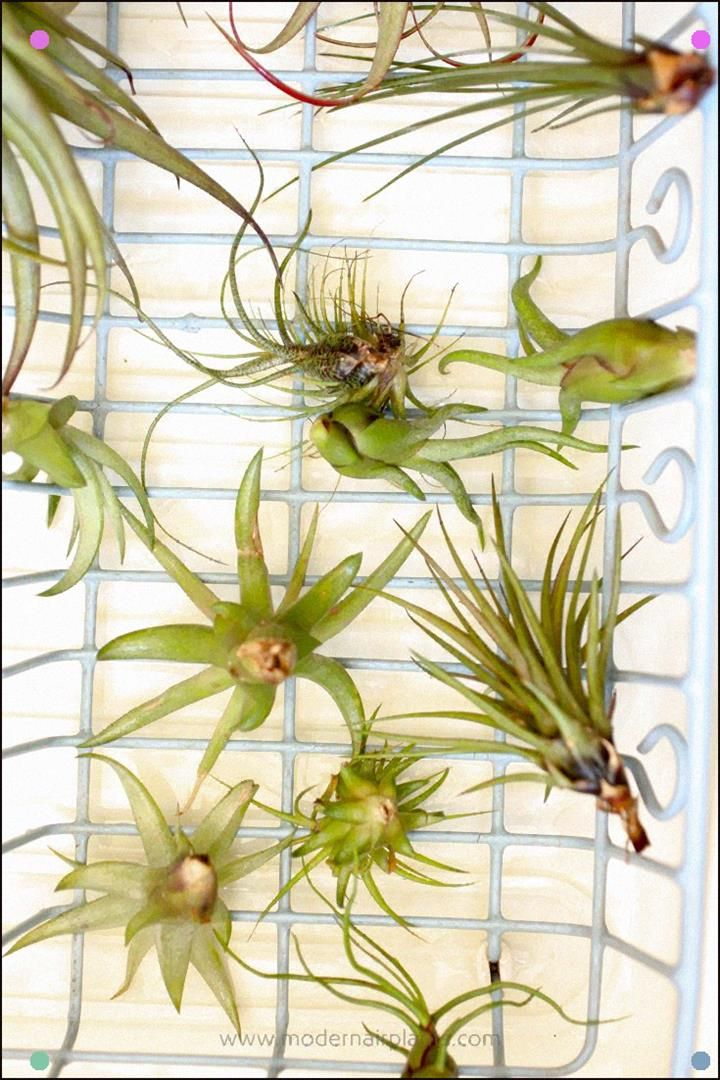 Are You Watering Your Air Plants And Yet, They Still