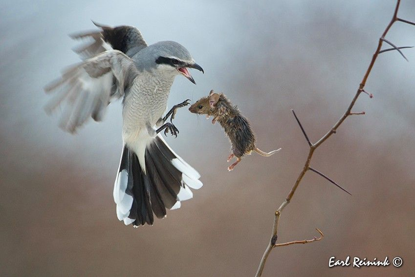 a near loss  Northern Shrike almost loses his meal