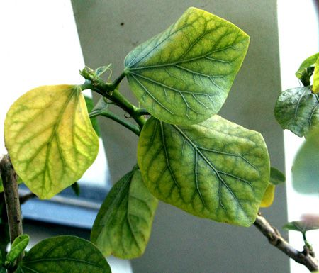 Plant Care Chlorosis Yellow Leaves Is It Chlorosis Garden Stuff