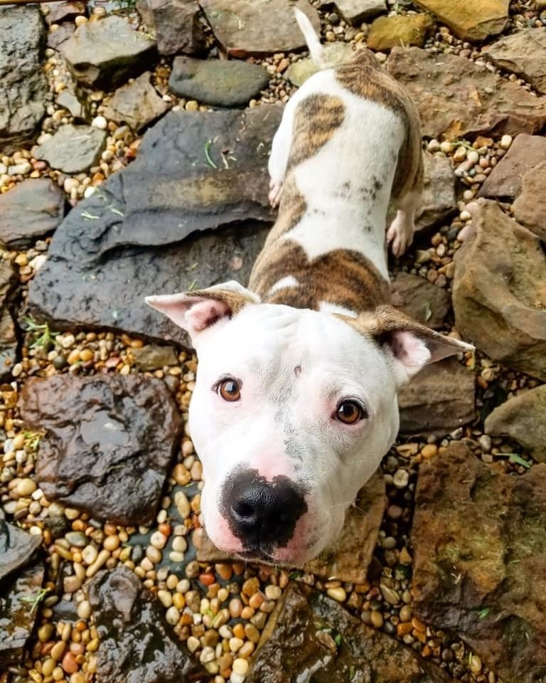 Adopt Vinnie On Pitbull Terrier Terrier Pets