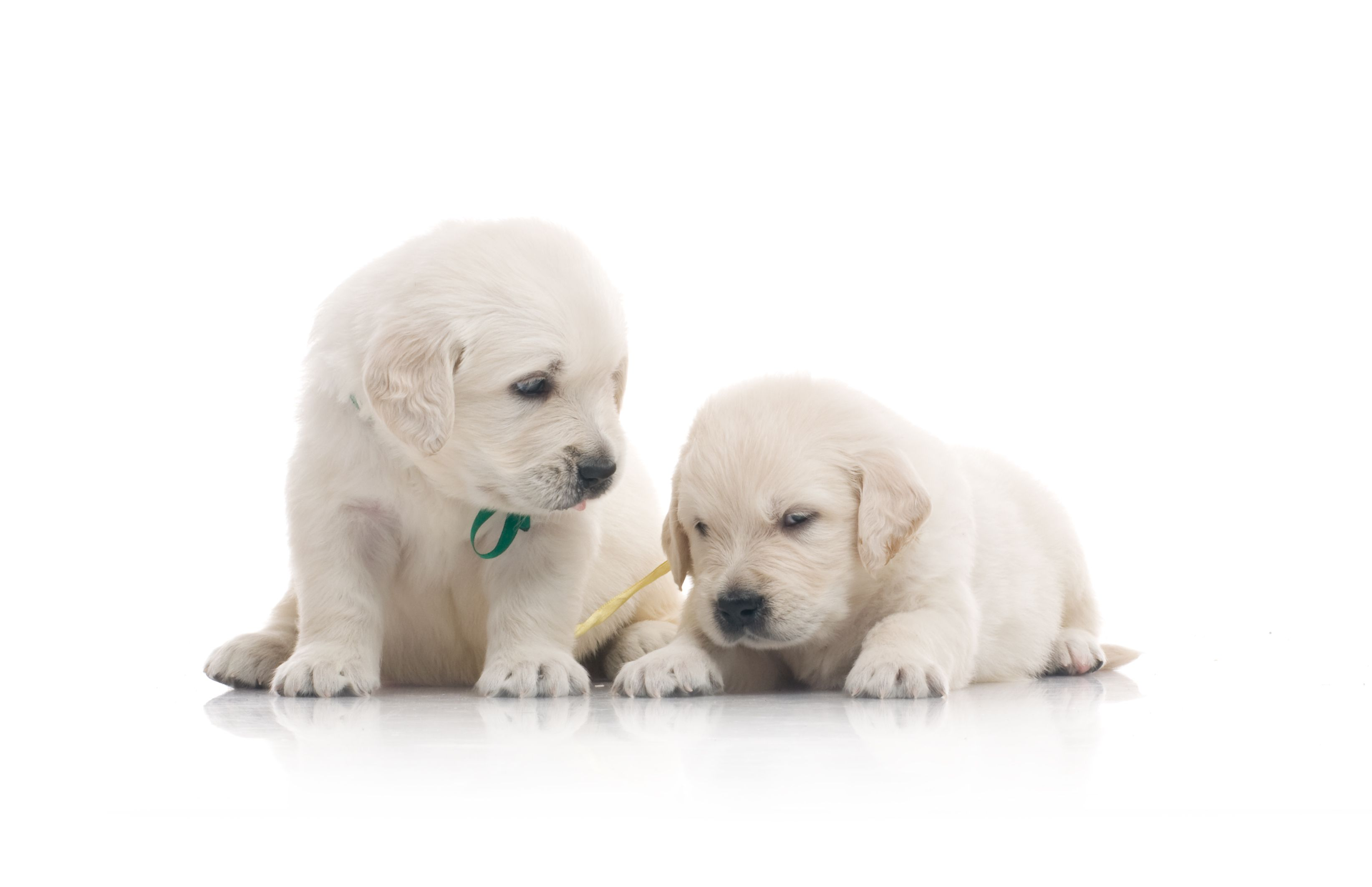 Two Small Cute Golden Retriever Puppy On White Background
