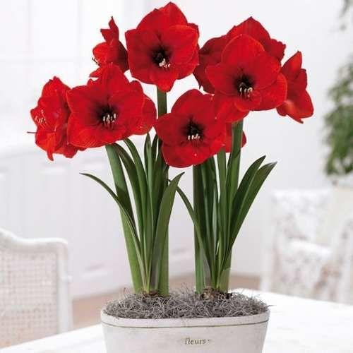 Bulbo amaryllis vermelho red lion muda bulbos flor flores for Amarilis decoration