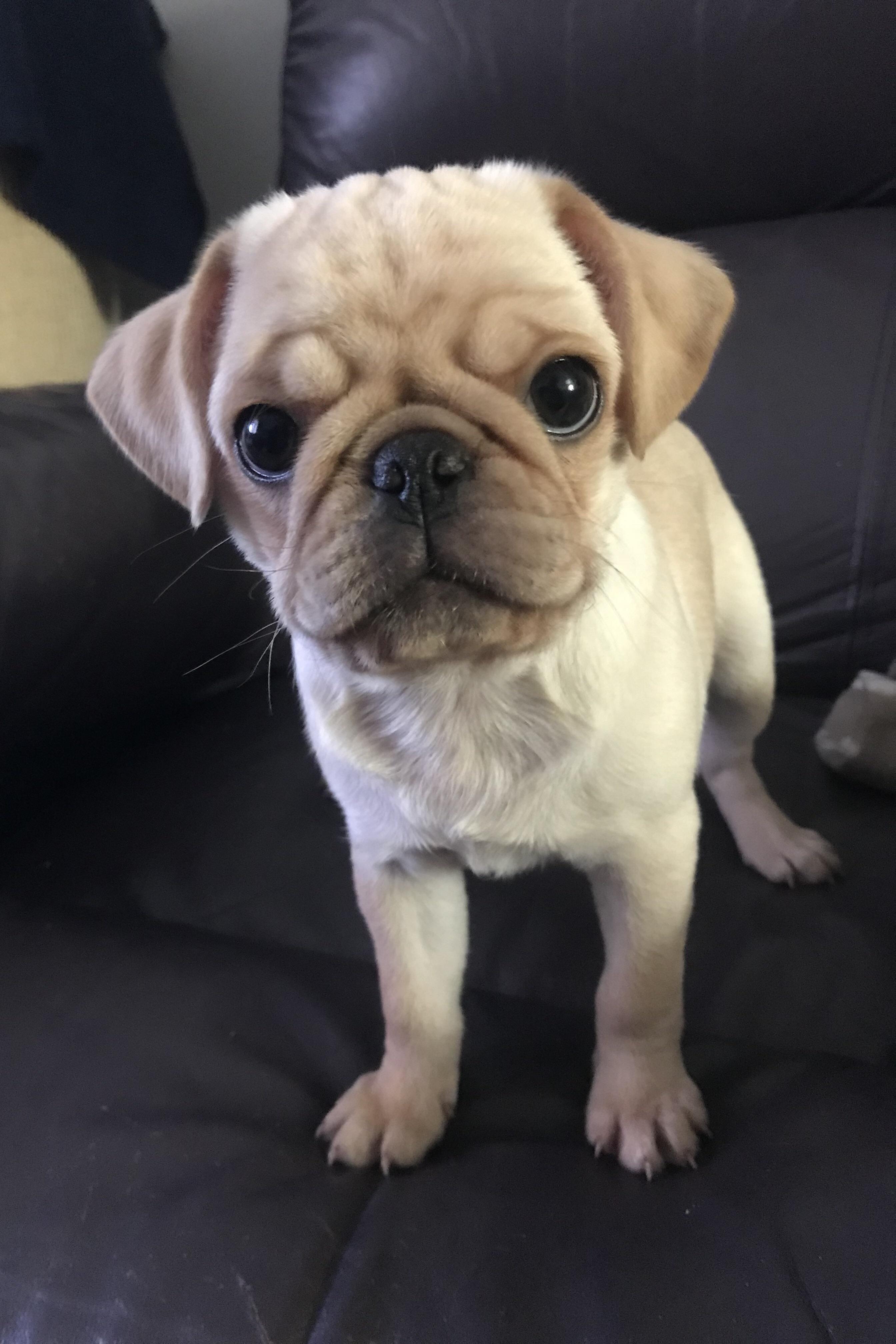 Milo Https Ift Tt 2p0kjqs Pugs Funny Pugs