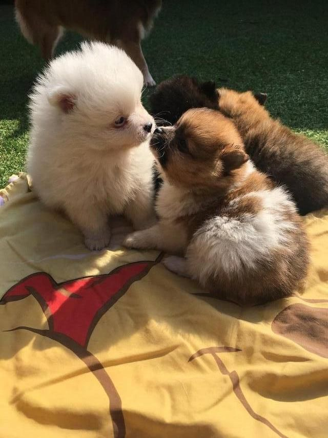 Small Type Rare Coloured Pomeranian Puppies For Sale In Preston