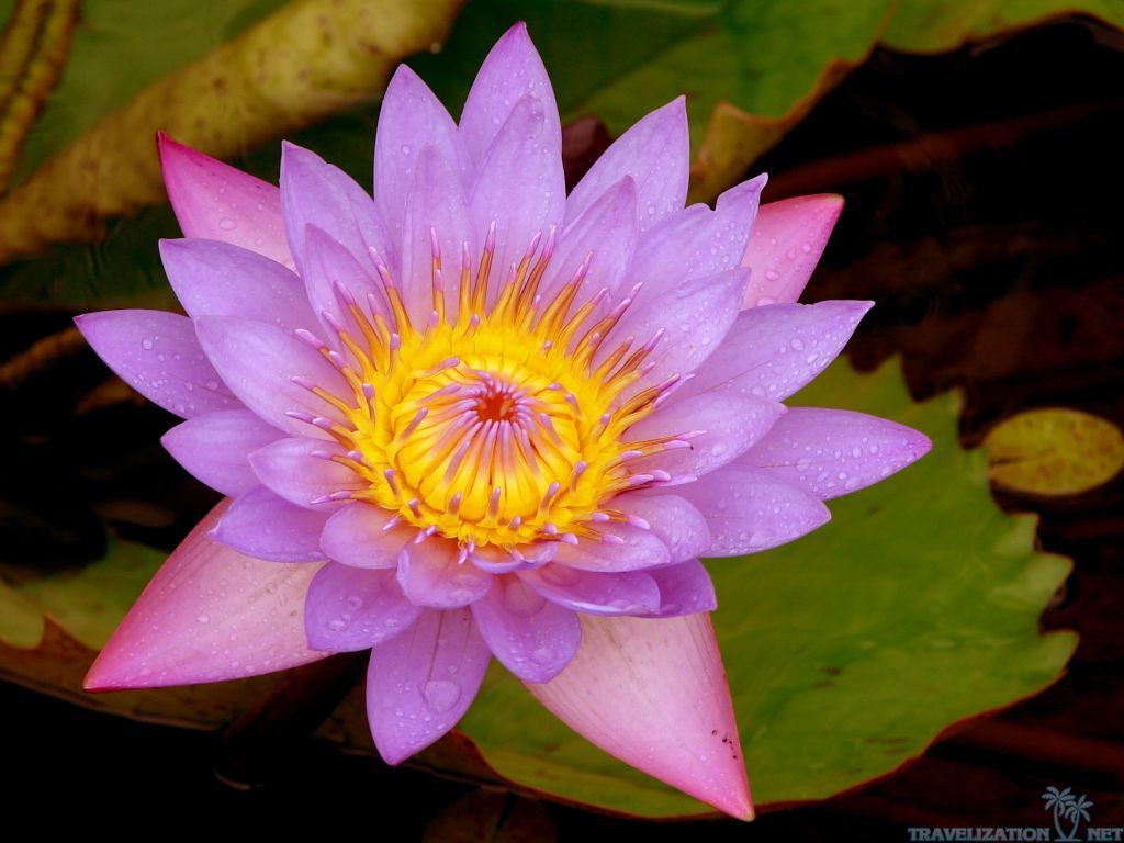 Lotus flower wallpapers for android natures wallpapers lotus flower wallpapers for android natures wallpapers pinterest lotus flower wallpaper dhlflorist Choice Image