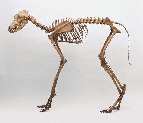 Maned wolf skeleton | Skeletal structure in 2019 | Maned