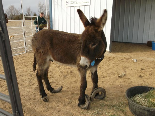 d610aae9787903b90ab412819836a604 neglected donkey with overgrown hooves could barely walk hoof blog