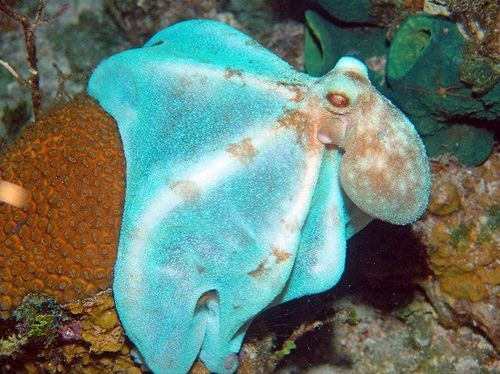 Caribbean Reef Octopus (Octopus briareus) in camouflage mode - O ...