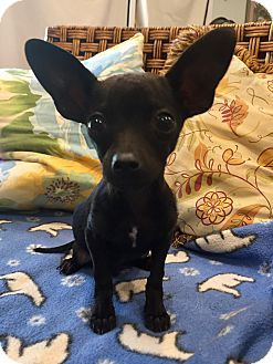 Santa Ana Ca Chihuahua Rat Terrier Mix Meet Franklin A Puppy