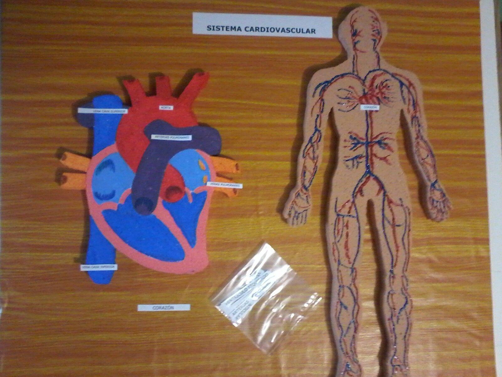 Maqueta Sistema cardiovascular   Tolo Dibujos y Maquetas Escolares ...