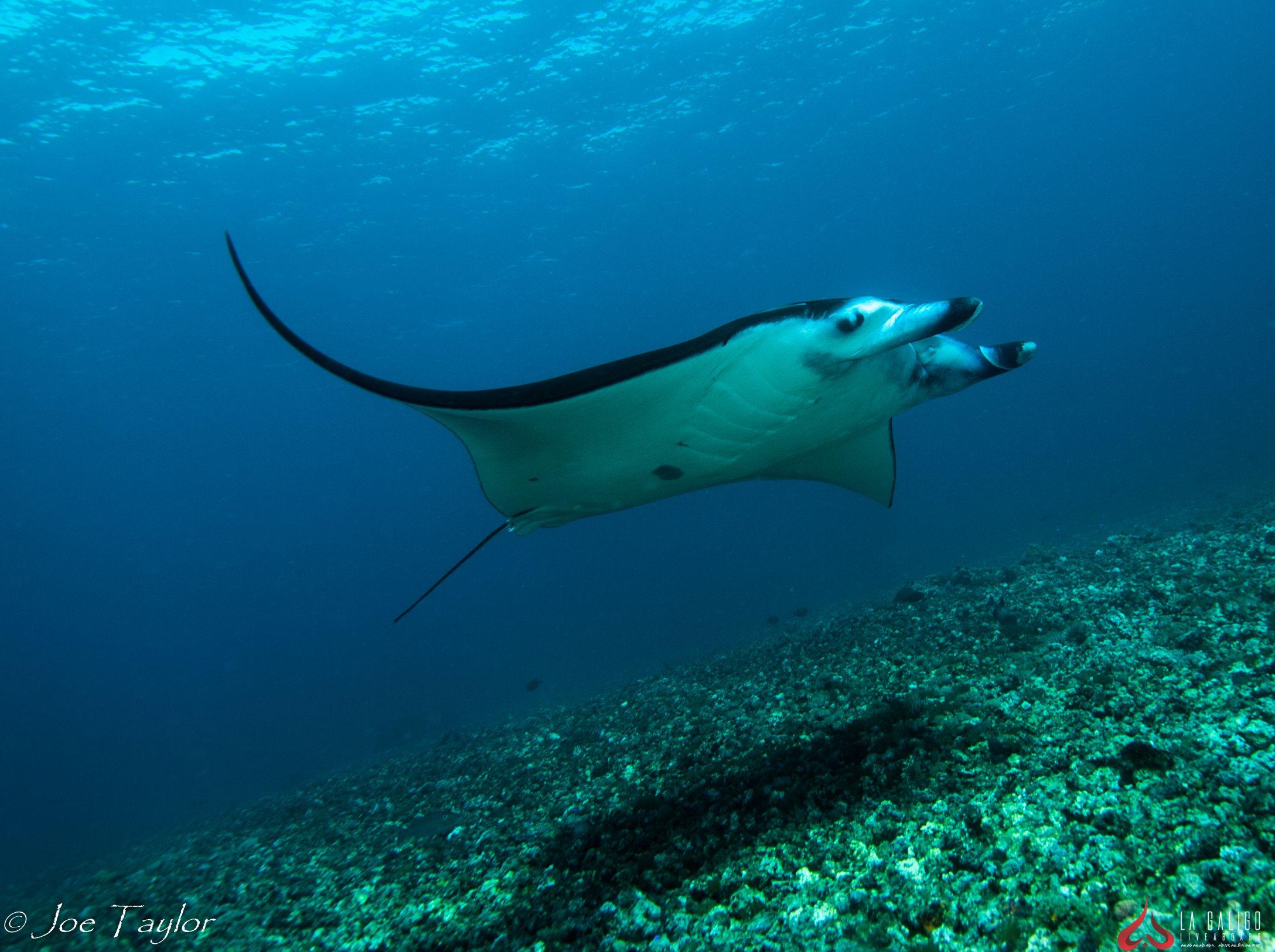 Manta Rays Graceful Giants Of The Sea