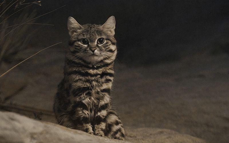 性格は真逆 世界最小の クロアシネコ と サビイロネコ の違いクロアシネ 野生動物 可愛すぎる動物 ネコ