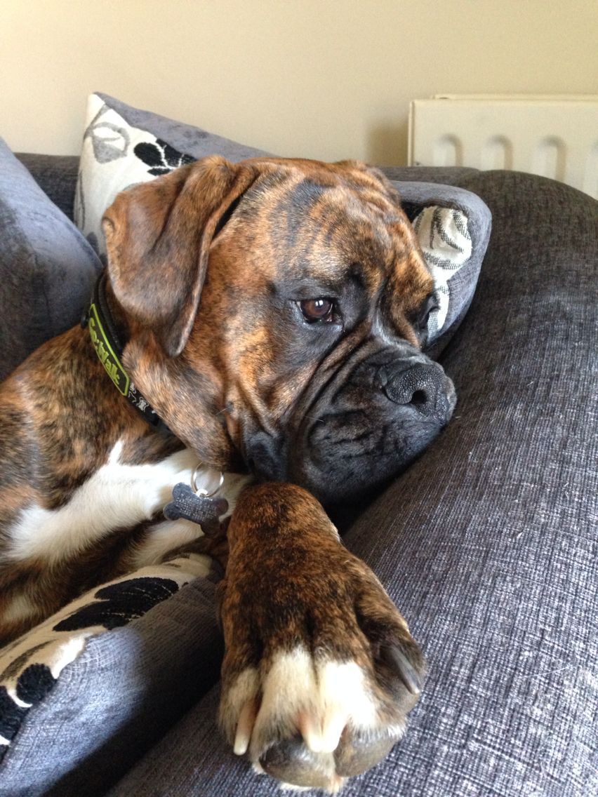 Bruce Has The Rainy Day Blues Boxer Dogs Funny Boxer Dog Puppy Boxer Puppies