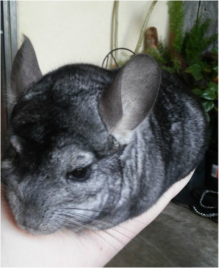 New Chinchilla Owner Checklist - Great post covering all the supplies  you ll need before 71e72ac3b0