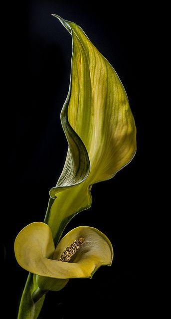 Yellow Calla Flower