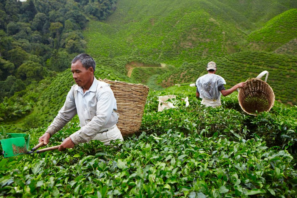 Tea pickers working the hills of the Bharat plantation in Malaysia's Cameron Highlands.