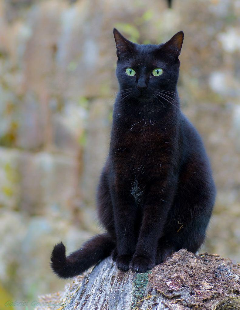 by xovesphoto http//flic.kr/p/oC2K24 Black cat, Cats