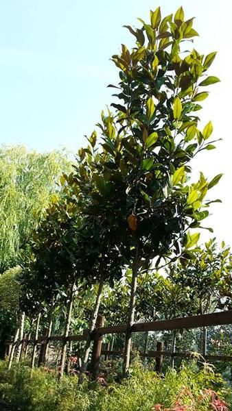 Magnolia Grandiflora Full Standard Garden Ideas Magnolia Trees