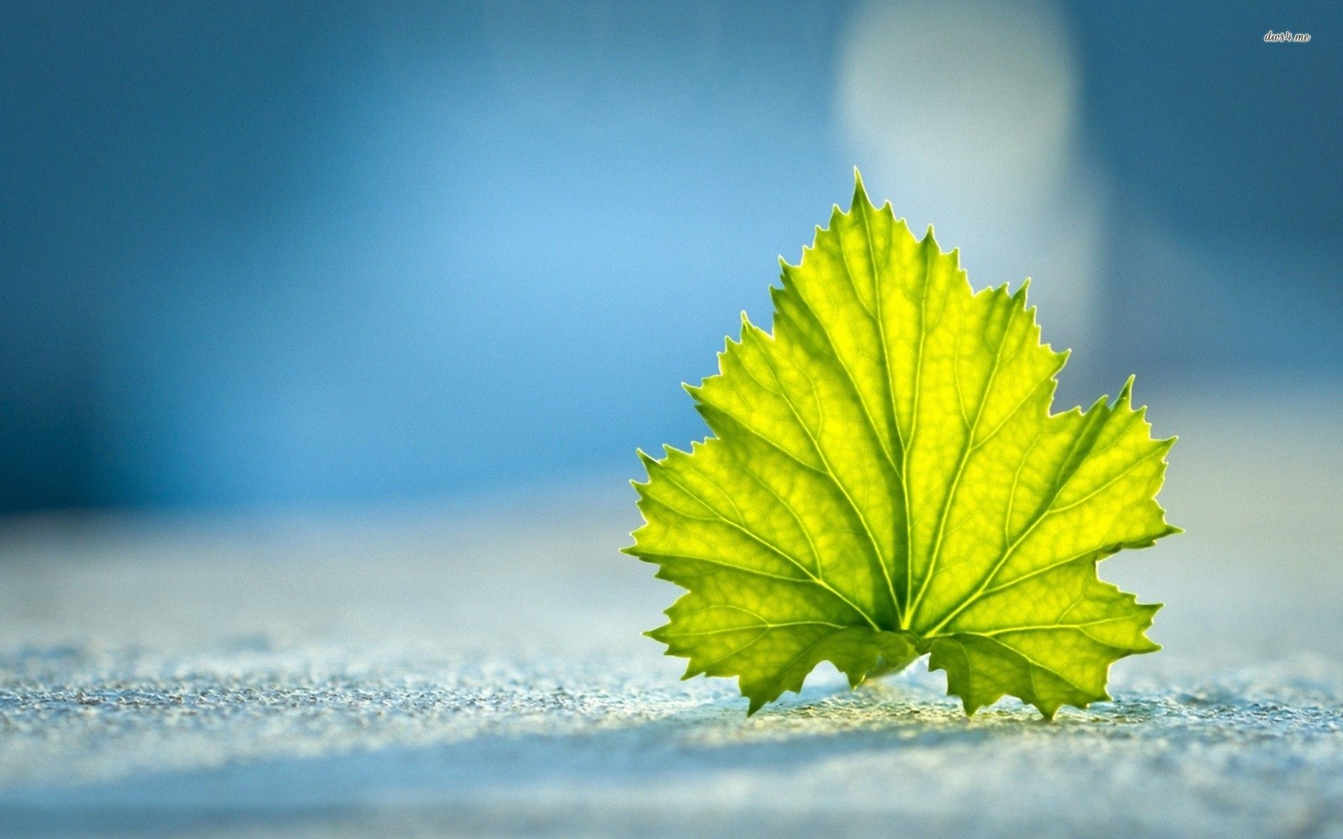 Fallen Grape Leaf Hd Wallpaper Nature Desktop Wallpaper Hd Cool