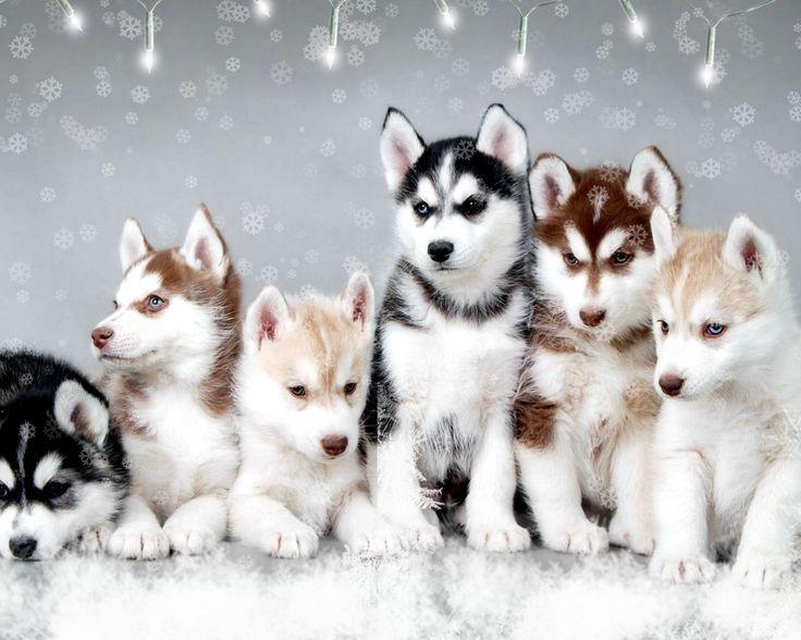 Holiday Husky Puppies Puppies