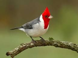 Fotos De Pajaros Cardenales Pajaros Cardenales Aves Exoticas Aves Raras