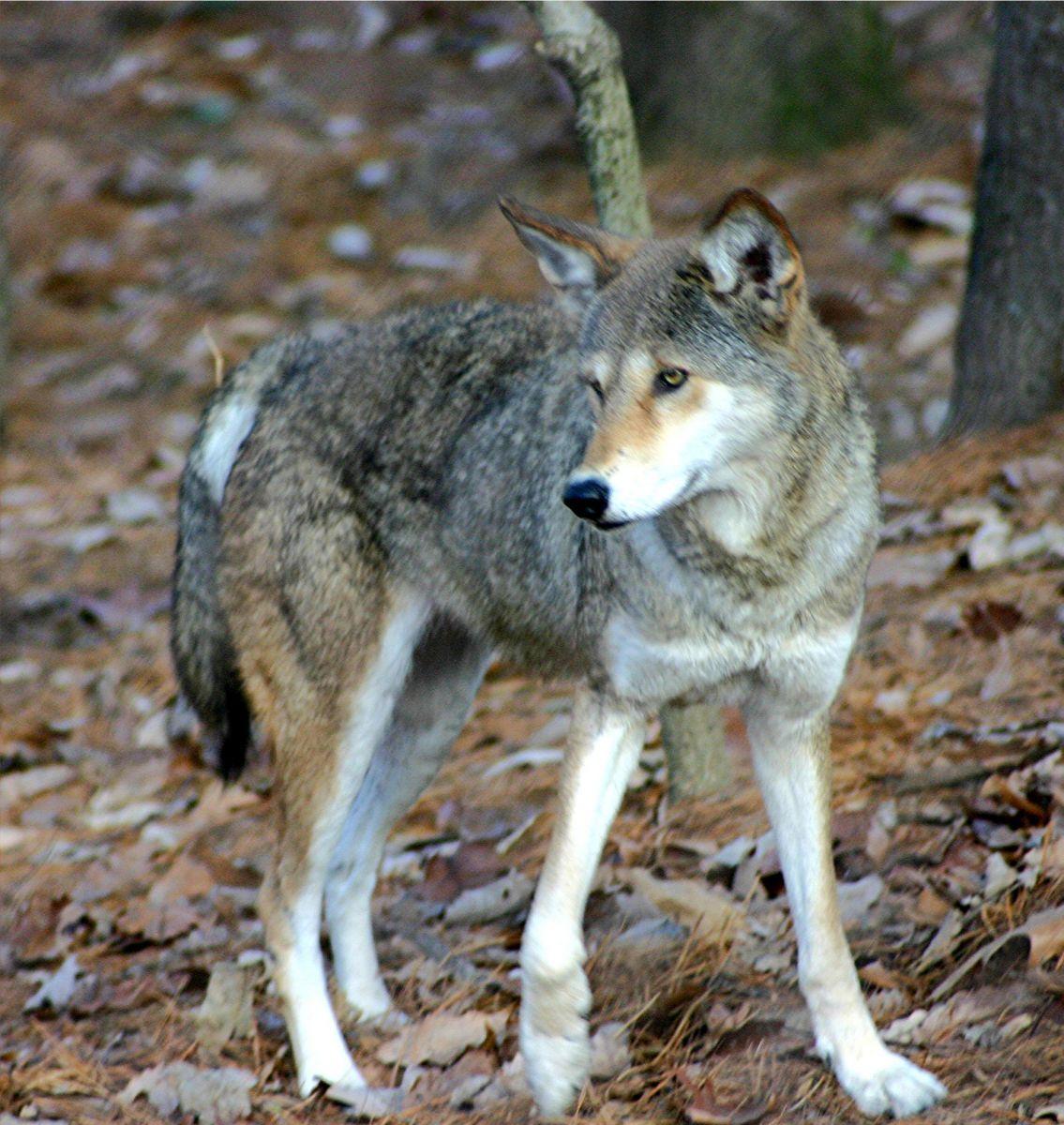 Red Wolf Blau