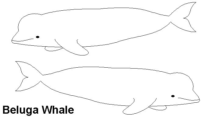 The Blue Whale Balaenoptera Musculus Is A Marine Mammal