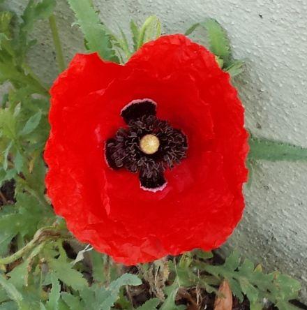 Mohnblume Mohnblume Blumen Und Pflanzen