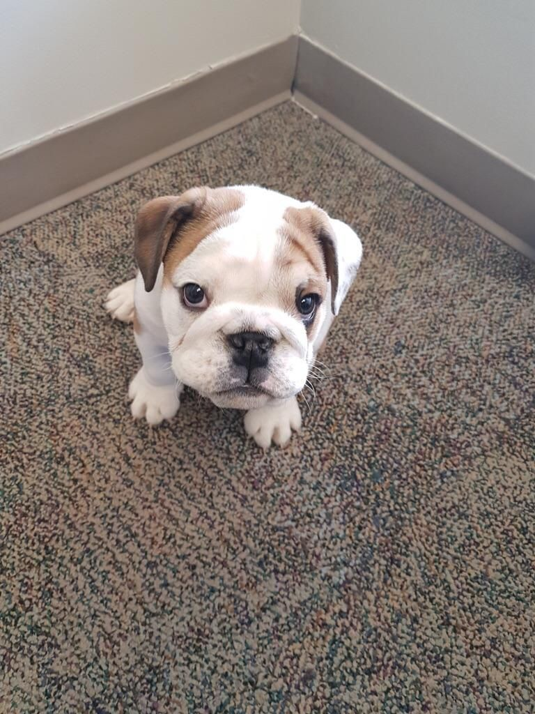 Bulldog Puppy Micro Visit Our Poster Store Rover99 Com Cute