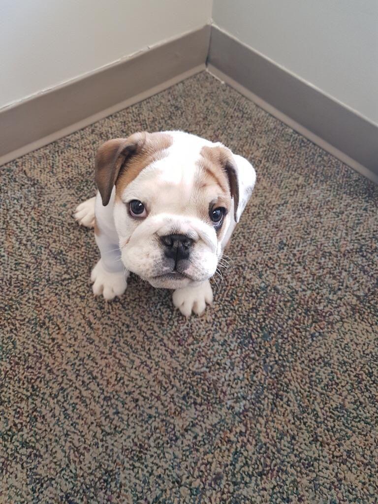 English Bulldog Puppy For Sale In Charleston Sc Adn 67240 On