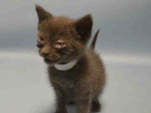 TINY Bundle of Grey Fuzzy Goodness! Friendly 4wk Cutie w/ Cold! At BACC****PLEASE NOTE****KITTENS under the age of 8 weeks or weighing 2 pounds or less CAN ONLY be PULLED by a RESCUE!!!! IF INTERESTED, PLEASE contact a RESCUE ASAP!!!
