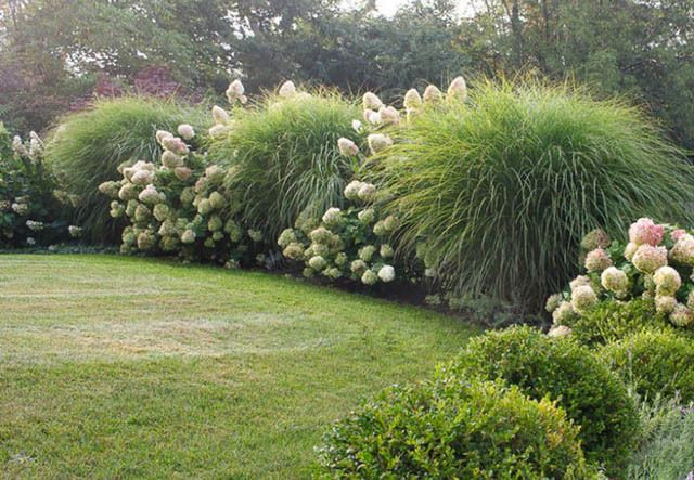 Miscanthus sinensis 39 morning light 39 maiden grass 39 morning for Maiden grass landscaping ideas