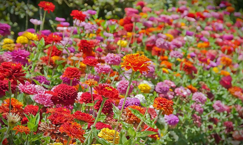 Roses In Garden: Beautiful! State Fair Zinnias Are The Ones